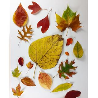 Today's collection of Autumn leaves... I love all the different shapes and colors!
